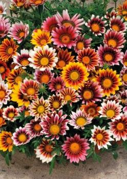 Meramlı Kız Gazanya Çiçek Tohumu