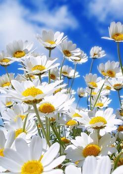 Papatya Çiçek Tohumu