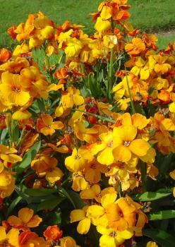 Sarı Şebboy 2 Çiçek Tohumu